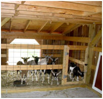 Apple Orchard Goat Barn - Interior View with Goats